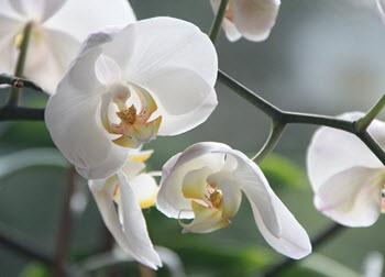 Mycket populära phalaenopsis orkideer