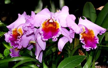 cattleya Orkide