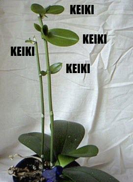 keiki på Phalaenopsis