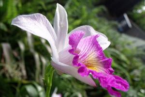 rosa cattleya orkide