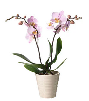 Phalaenopsis i kruka