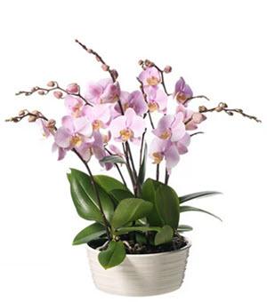 Phalaenopsis plantering