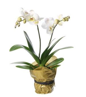 vit Phalaenopsis