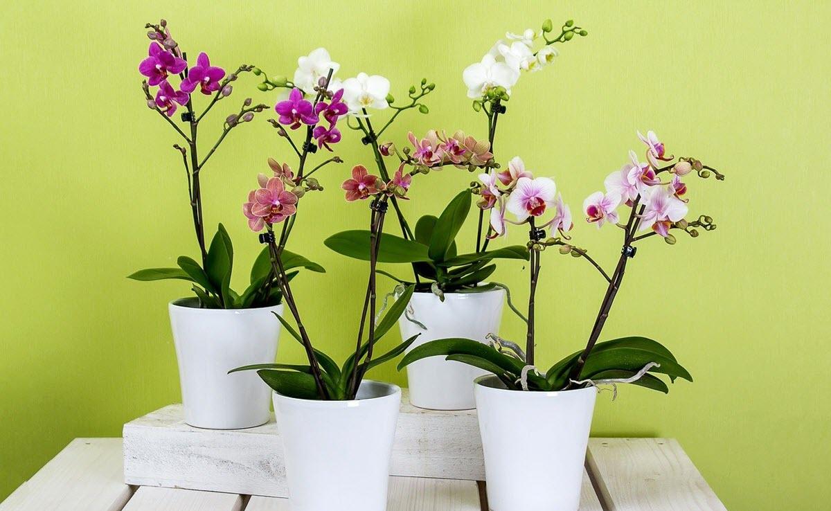 orkideer i kruka