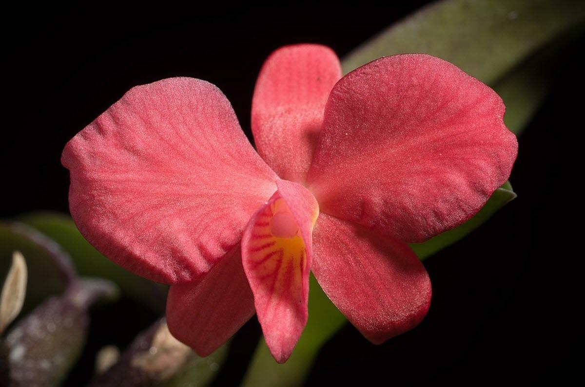Cattleya - Sophronitis - brevipedunculata