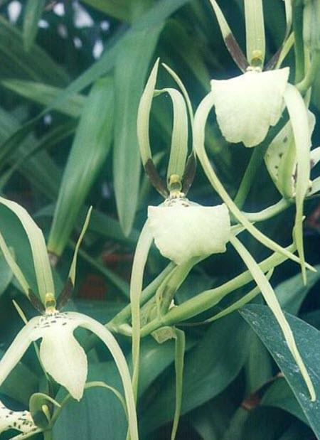 brassia orkide