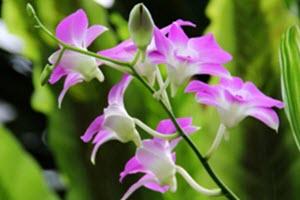 Dendrobium orkideer
