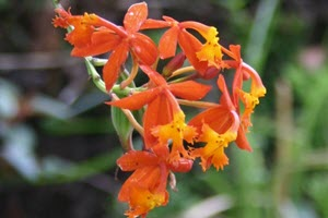 Epidendrum orkide