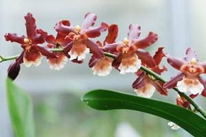 Oncidium orkideer