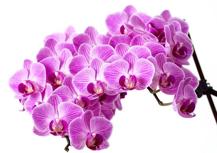 orkideer head