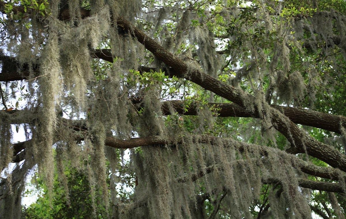 spansk mossa i träd